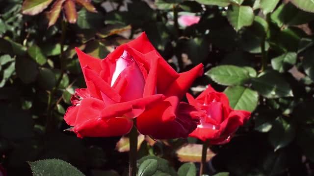 Pruning Rose Bushes Whnt Com