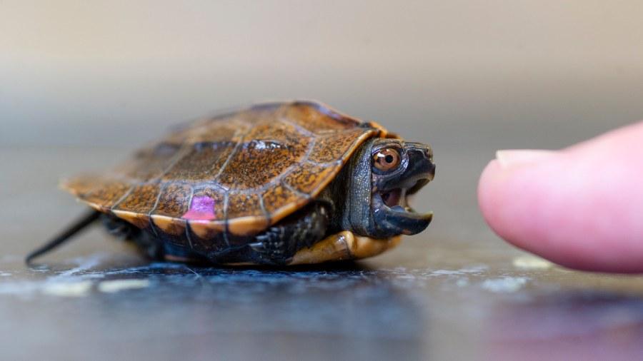 The Tennessee Aquarium is adding a turtle nursery
