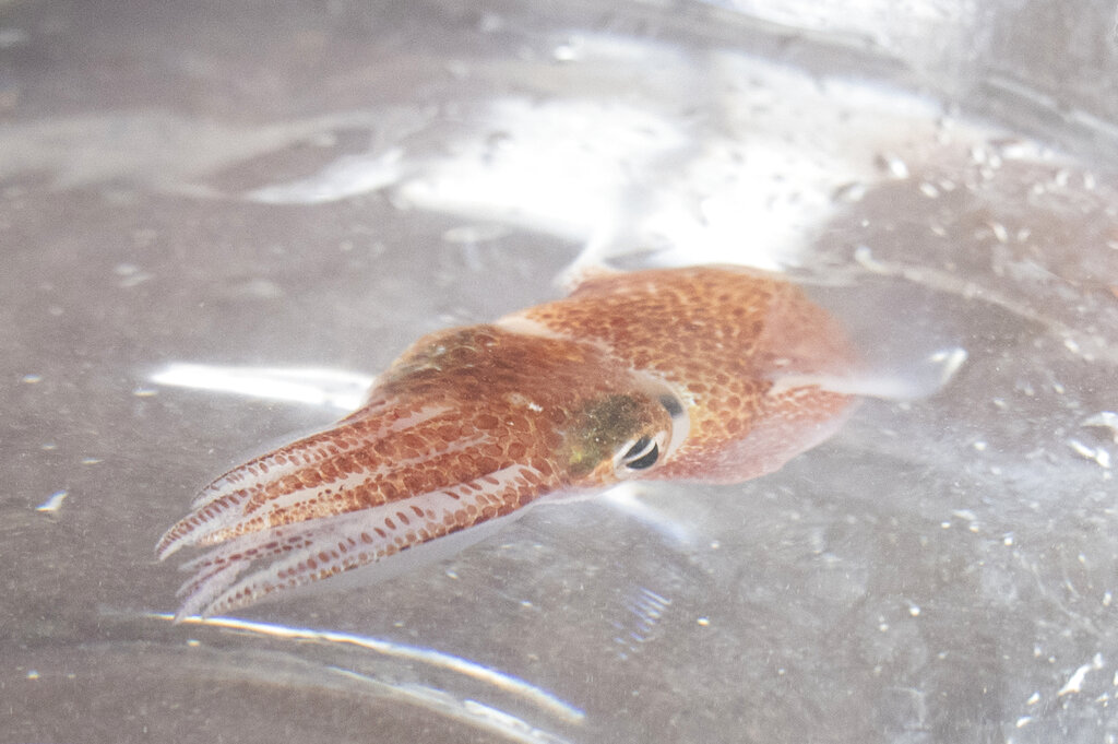 NASA sends squid from Hawaii into space for research