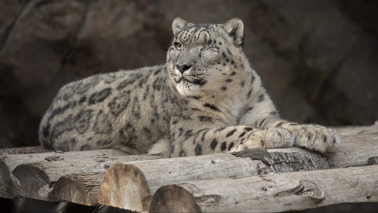 Snow leopard at San Diego Zoo suspected positive for COVID-19