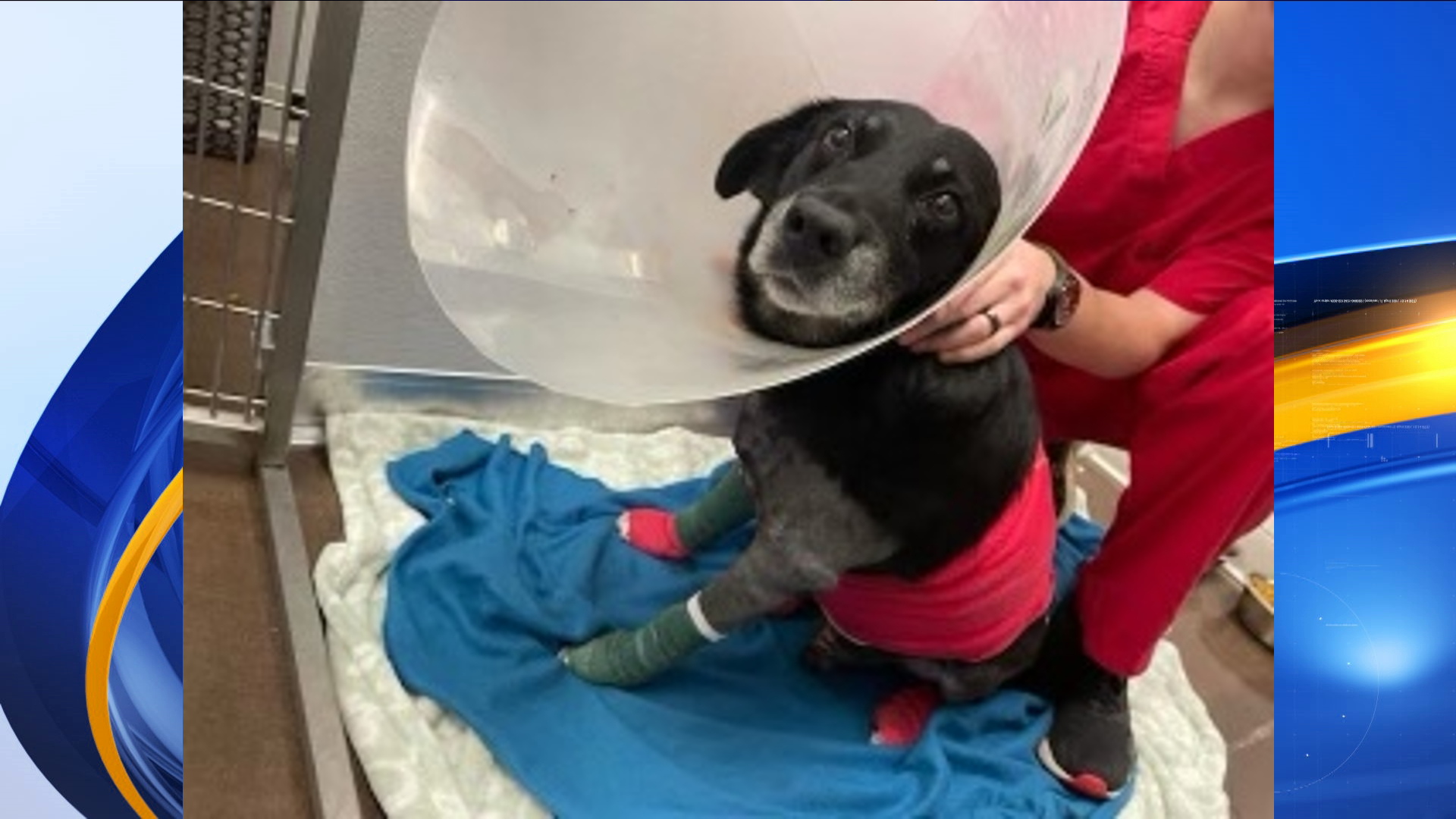 According to Animal Control Director Cheryl Jones, the dog, later named Frank, was found chained to a pole with severe injuries.